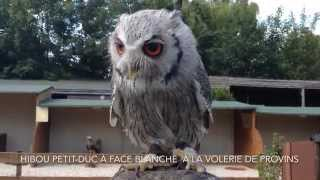 preview picture of video 'Hibou petit-duc à face blanche - Provins'
