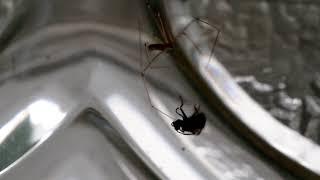 Spinne kämpft mit Mücke