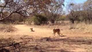 Walk with lions @ Ukutula Lion Park South Africa 2012