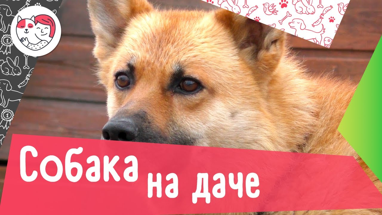 5 советов, как подготовиться к поездке на дачу с собакой