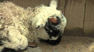 preview picture of video 'New Lambs | Busch Gardens® Williamsburg, VA'