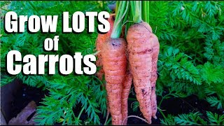 Grow LOTS of Carrots - 3 Tips