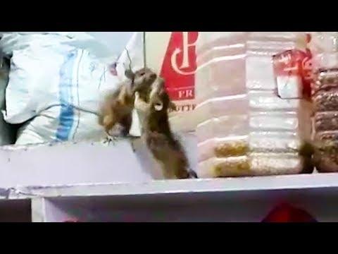Krysí box - Ozzy Man