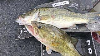 Big Bass In Box Eat Black Worm Mtb Pro Box Slam Challenge