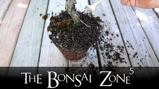 Styling A Little Cedar Spirit Tree, Part 1, The Bonsai Zone, June 2018