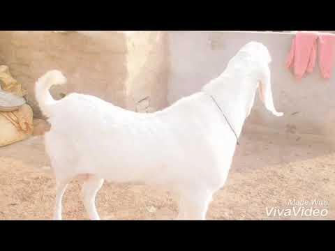 Breeder Rajan Puri number 1 bahut Khubsurat bakra - смотреть