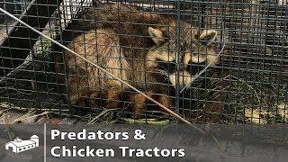 Predators And Chicken Tractors - AMA S1:E5