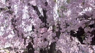 """やなせなな """"さくら"""" (Official Music Video)"""