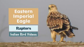 The Eastern Imperial Eagle (Aquila heliaca) - राज गरुड - શાહી જુમ્માસ - Kejserørn - Keisarikotka