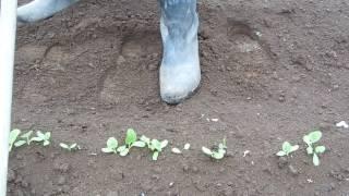 家庭菜園ゴボウの栽培part2間引きと土寄せ