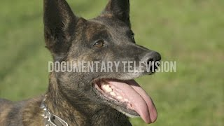 THE MOST AMAZING DUTCH SHEPHERD YOU'LL EVER SEE.