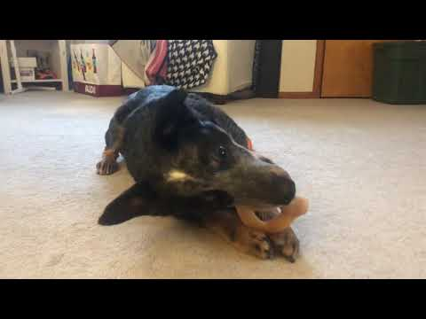 Chip, an adopted Australian Cattle Dog / Blue Heeler in Cleveland, OH_image-1