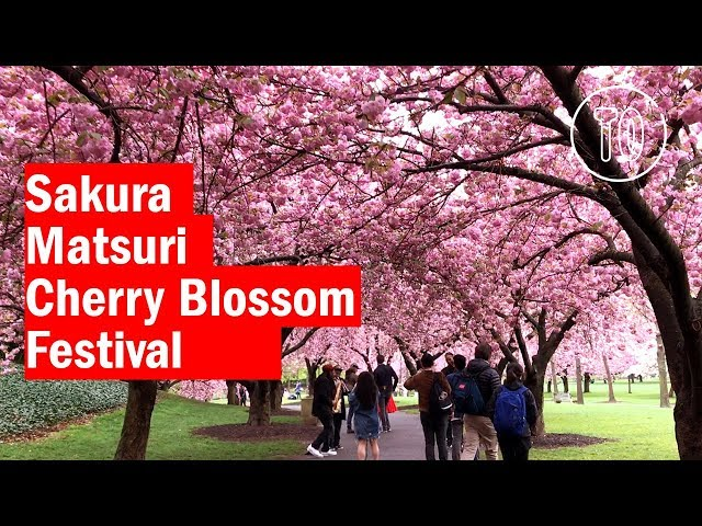 cherry blossoms south melbourne review