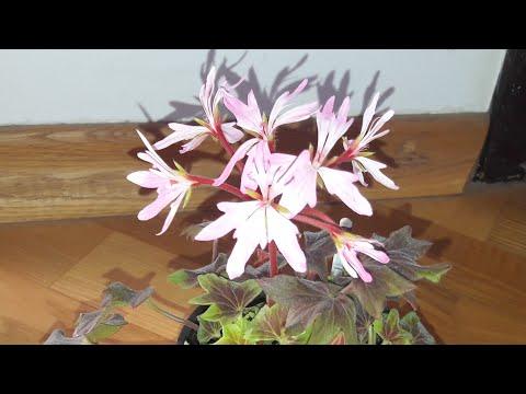 Пеларгония Jazzy - миниатюрный стеллар🌷