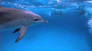 preview picture of video 'Dolphins Bahamas nov.2014 Tiger Beach'