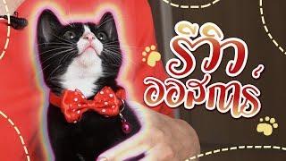 """ซอฟรีวิว: """"ออสการ์"""" ลูกแมวเลือดผสม! ครึ่งรัสเซี่ยนบลู กับ สุขุมวิท!!"""
