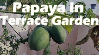 Growing Papaya In A Container - Terrace Garden