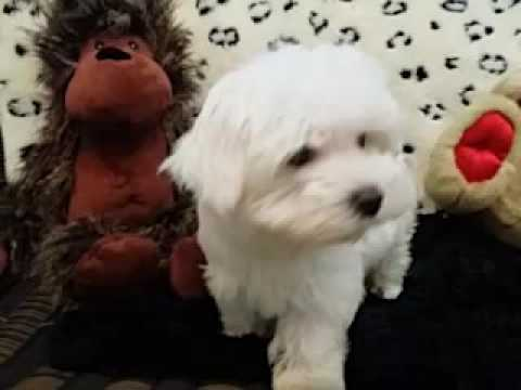 Handsome and Tiny Male Maltese Puppy!