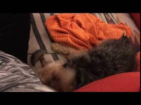 JOSIE!, an adopted Yorkshire Terrier in Philadelphia, PA