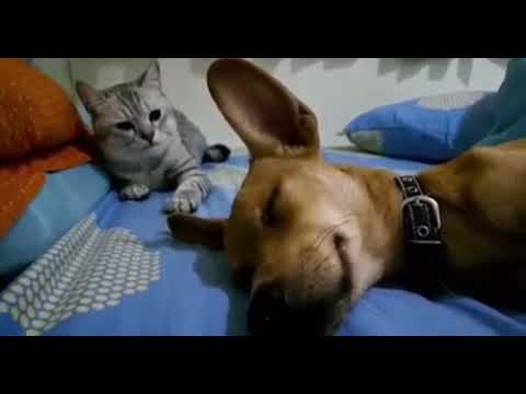 Cat Not Happy with Farting Dog