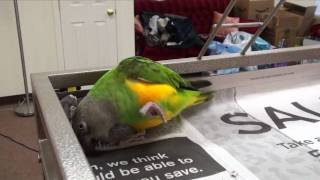 Kili Senegal Parrot - Play and Talk, Says Hello