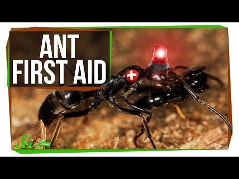 These Ant Paramedics Save Their Injured Comrades