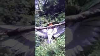 Mikat Burung Cabe Cabean Cuma Modal Mp3