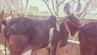 Kankarej Cow Contact For Purchase Good Milking Capacity Cows Contact No919067177776