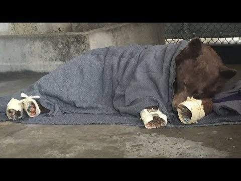 Edible bandages for bears' burnt paws – BBC News