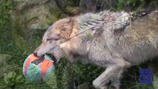 Action from the Wolves Birthday Party piñatas for wolves in SloMo: