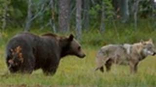 Viking Wilderness - Wolves and Bears Clash