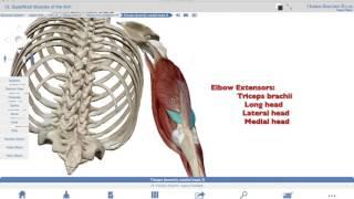 Muscles of the Elbow flexors-extensors