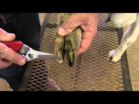 , title : 'How to Trim Goat Hooves