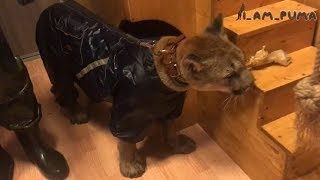 Сборы пумы Месси на прогулку. Puma Messi is going for a walk in the rain