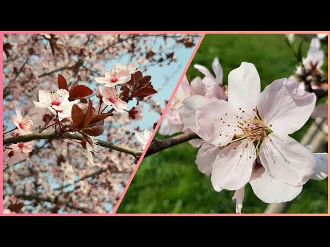 MANDORLA E SAKURA FIORISCONO. Primavera 2021 🇮🇹 Italia 🌺 МИНДАЛЬ И САКУРА ЦВЕТУТ. Весна 2021, Италия