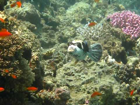 Maskenkugelfisch, Hausriff Happy Life Village,Ägypten