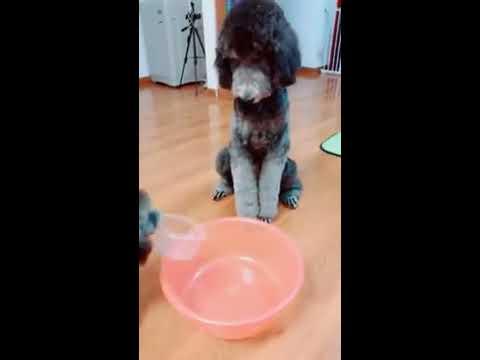 【抖音】寵物合集34 - 當人家狗狗不容易啊,依然逃不出興趣班的魔爪!