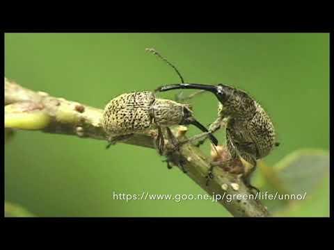 ハイイロチョッキリの産卵 ACORN WEEVIL OVIPOSITION  CYLLORHYNCHITES URSULUS