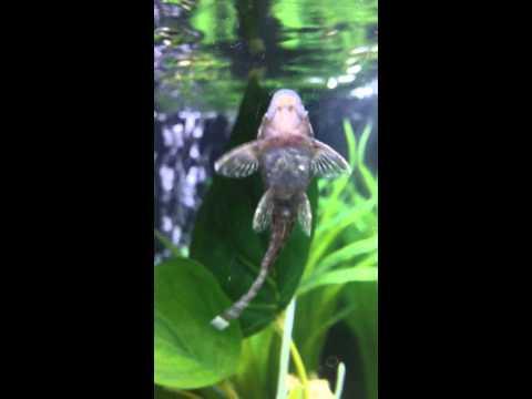 Pesce pulitore vetro