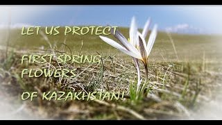Let us protect first spring flowers of Kazakhstan!