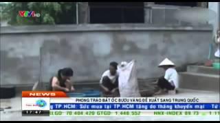 Phong Trào Bắt ốc Bươu Vàng Bán Sang Trung Quốc ở Các Tỉnh Tây Nam Bộ