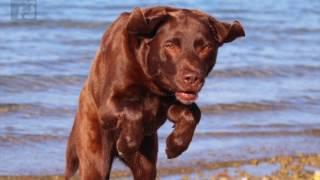 Labrador: Das sollten Sie unbedingt wissen, bevor ein Labbi ein Mitglied Ihrer Familie wird!