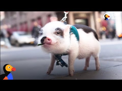 Sick Pig's Parents Do Everything They Can To Save His Life | The Dodo