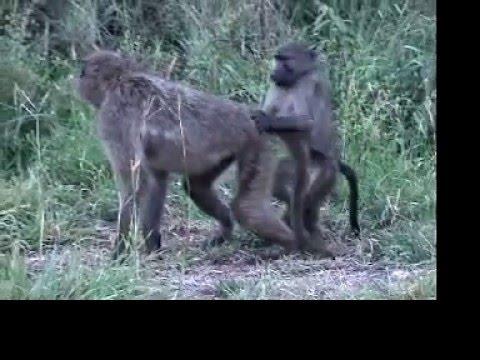 Animals Mating Videos Baboons Mating Video