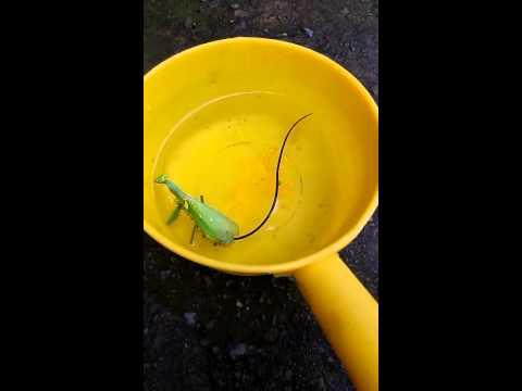 螳螂死後放進水桶...1條超長鐵線蟲爬出來了