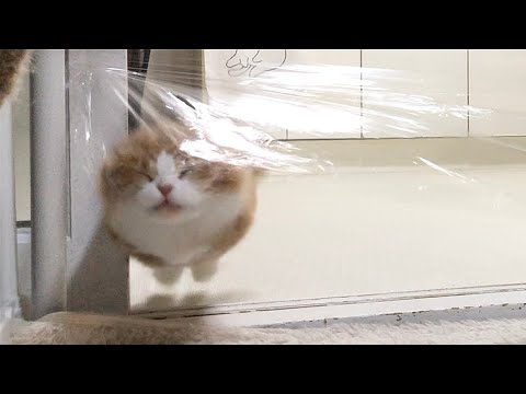 Cats Try the Invisible Wall Challenge