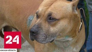 Бойцовская собака напала на семью и растерзала шпица - Россия 24