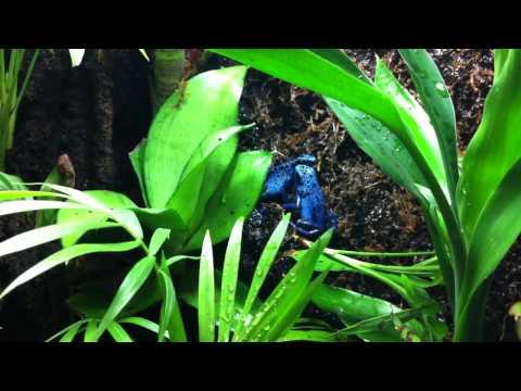Poison Dart Frog - Azureus Male Calling