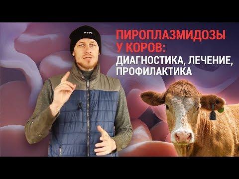 Піроплазмідози у корів —діагностика, лікування, профілактика