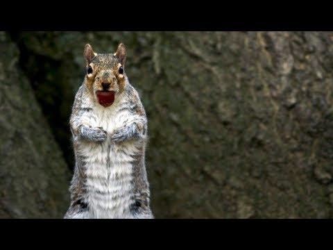 Jak veverky neurvale kradou žaludy